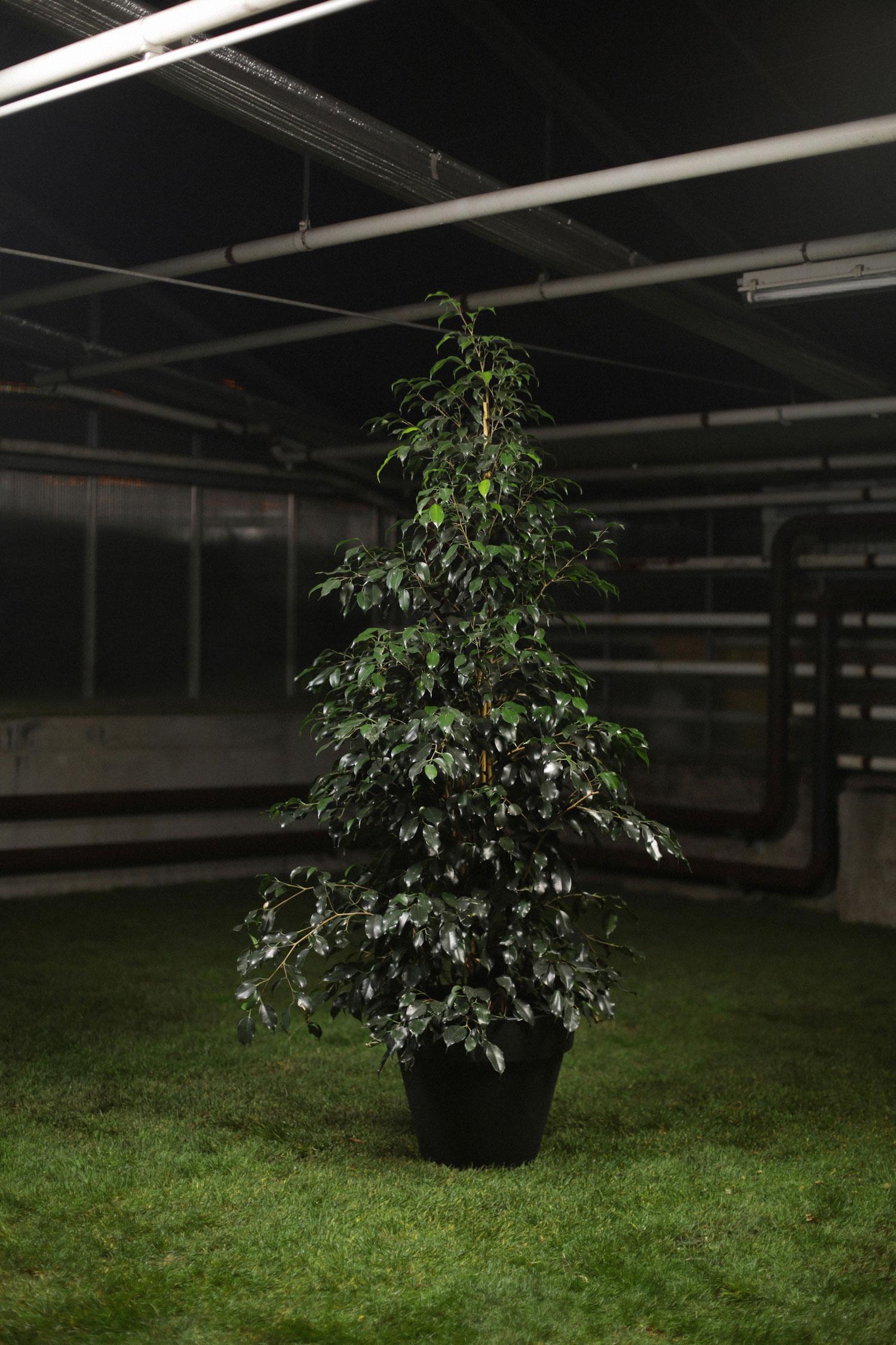 ficus amstel king location de plantes vertes com. Black Bedroom Furniture Sets. Home Design Ideas